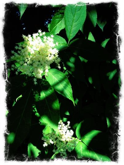 IMG_1585 eld bush